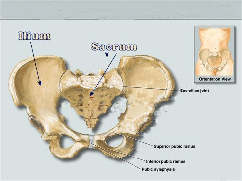 PELVIS_large-pubic-bone-pain - In Touch Physiotherapy, Singapore